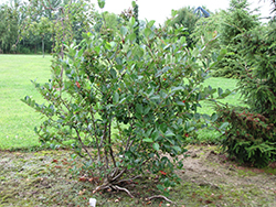 Viking Chokeberry (Aronia x prunifolia 'Viking') at Sargent's Gardens