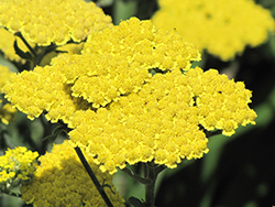 Moonshine Yarrow (Achillea 'Moonshine') at Sargent's Gardens