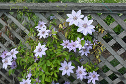 Fireworks Clematis (Clematis 'Fireworks') at Sargent's Gardens