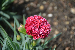 Fruit Punch® Raspberry Ruffles Pinks (Dianthus 'Raspberry Ruffles') at Sargent's Gardens
