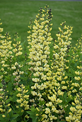 Decadence® Lemon Meringue False Indigo (Baptisia 'Lemon Meringue') at Sargent's Gardens