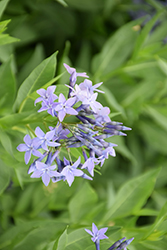 Blue Ice Star Flower (Amsonia tabernaemontana 'Blue Ice') at Sargent's Gardens