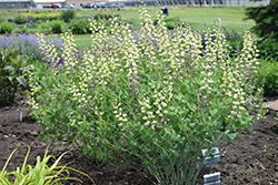 Decadence® Deluxe Pink Lemonade False Indigo (Baptisia 'Pink Lemonade') at Sargent's Gardens