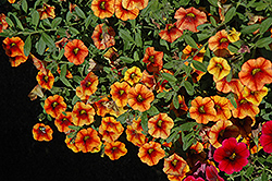 Superbells® Spicy Calibrachoa (Calibrachoa 'Superbells Spicy') at Sargent's Gardens