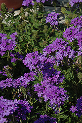 Superbena® Royale Chambray Verbena (Verbena 'Superbena Royale Chambray') at Sargent's Gardens