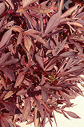 Illusion Garnet Lace Sweet Potato Vine (Ipomoea batatas 'Illusion Garnet Lace') at Sargent's Gardens