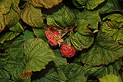 Raspberry Shortcake® Raspberry (Rubus 'NR7') at Sargent's Gardens