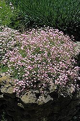 Pink Creeping Baby's Breath (Gypsophila repens 'Rosea') at Sargent's Gardens
