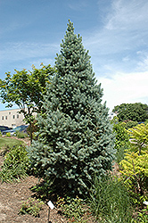 Upright Colorado Spruce (Picea pungens 'Fastigiata') at Sargent's Gardens