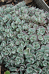 Japanese Stonecrop (Sedum cauticola) at Sargent's Gardens