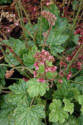 Berry Timeless Coral Bells (Heuchera 'Berry Timeless') at Sargent's Gardens