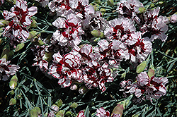 Coconut Punch Pinks (Dianthus 'Coconut Punch') at Sargent's Gardens