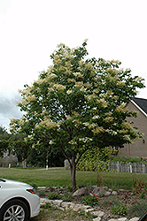 Japanese Tree Lilac (Syringa reticulata) at Sargent's Gardens
