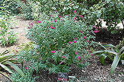 Miss Ruby Butterfly Bush (Buddleia davidii 'Miss Ruby') at Sargent's Gardens