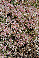 Pure Joy Stonecrop (Sedum 'Pure Joy') at Sargent's Gardens
