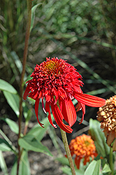 Cone-fections™ Hot Papaya Coneflower (Echinacea 'Hot Papaya') at Sargent's Gardens