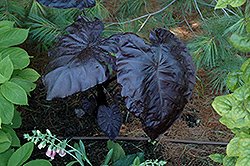 Royal Hawaiian® Black Coral Elephant Ear (Colocasia esculenta 'Black Coral') at Sargent's Gardens