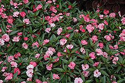 SunPatiens® Spreading Pink Flash New Guinea Impatiens (Impatiens 'SunPatiens Spreading Pink Flash') at Sargent's Gardens