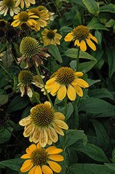 Sombrero Lemon Yellow Coneflower (Echinacea 'Balsomemy') at Sargent's Gardens