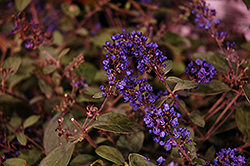 Lo And Behold® Blue Chip Junior Dwarf Butterfly Bush (Buddleia 'Lo And Behold Blue Chip Junior') at Sargent's Gardens