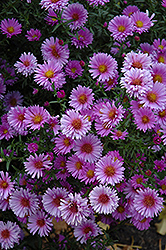 Purple Dome Aster (Aster novae-angliae 'Purple Dome') at Sargent's Gardens