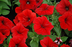 Potunia Dark Red Petunia (Petunia 'Potunia Dark Red') at Sargent's Gardens