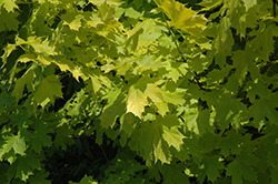 Princeton Gold Maple (Acer platanoides 'Princeton Gold') at Sargent's Gardens