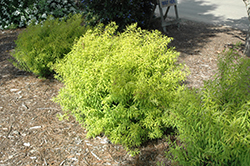 Mellow Yellow Spirea (Spiraea thunbergii 'Mellow Yellow') at Sargent's Gardens