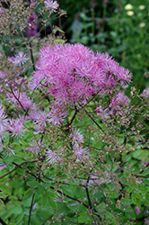 Black Stockings Meadow Rue (Thalictrum 'Black Stockings') at Sargent's Gardens