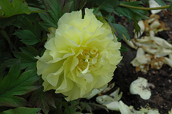 Yumi Peony (Paeonia 'Beauty') at Sargent's Gardens