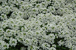Snow Crystals Alyssum (Lobularia maritima 'Snow Crystals') at Sargent's Gardens