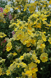 Sunsatia Lemon Nemesia (Nemesia 'Sunsatia Lemon') at Sargent's Gardens