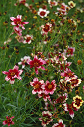 Berry Chiffon Tickseed (Coreopsis 'Berry Chiffon') at Sargent's Gardens