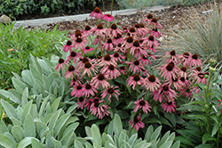 Purple Emperor Coneflower (Echinacea purpurea 'Purple Emperor') at Sargent's Gardens