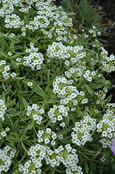 Frosty Knight Alyssum (Lobularia 'Frosty Knight') at Sargent's Gardens