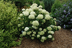 Incrediball® Hydrangea (Hydrangea arborescens 'Abetwo') at Sargent's Gardens