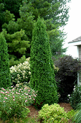 North Pole® Arborvitae (Thuja occidentalis 'Art Boe') at Sargent's Gardens