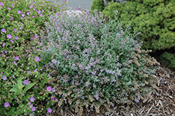 Cat's Meow Catmint (Nepeta x faassenii 'Cat's Meow') at Sargent's Gardens