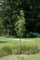 Armstrong Gold Red Maple (Acer rubrum 'JFS-KW78') at Sargent's Gardens