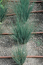 Blue Dart Rush (Juncus tenuis 'Blue Dart') at Sargent's Gardens