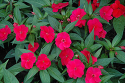 Divine™ Cherry Red New Guinea Impatiens (Impatiens hawkeri 'Divine Cherry Red') at Sargent's Gardens
