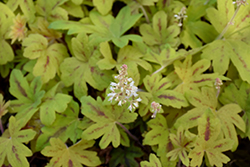Sunrise Falls Foamy Bells (Heucherella 'Sunrise Falls') at Sargent's Gardens