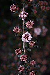 Little Devil™ Ninebark (Physocarpus opulifolius 'Donna May') at Sargent's Gardens