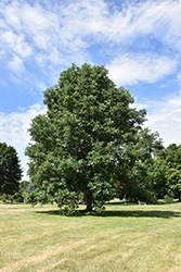 Swamp White Oak (Quercus bicolor) at Sargent's Gardens
