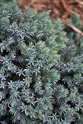 Blue Star Juniper (Juniperus squamata 'Blue Star') at Sargent's Gardens