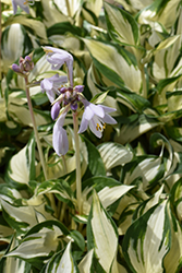 Loyalist Hosta (Hosta 'Loyalist') at Sargent's Gardens