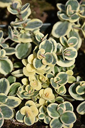 Lime Twister Stonecrop (Sedum 'Lime Twister') at Sargent's Gardens