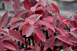 Arctic Fire® Red Twig Dogwood (Cornus sericea 'Farrow') at Sargent's Gardens