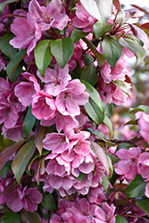 Gladiator™ Flowering Crab (Malus 'DurLeo') at Sargent's Gardens