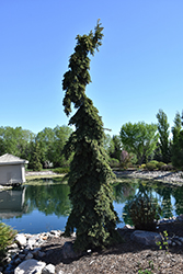 Weeping White Spruce (Picea glauca 'Pendula') at Sargent's Gardens